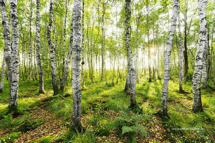 Die besten 17 ideen zu fototapete birkenwald auf pinterest for Fototapete birkenwald