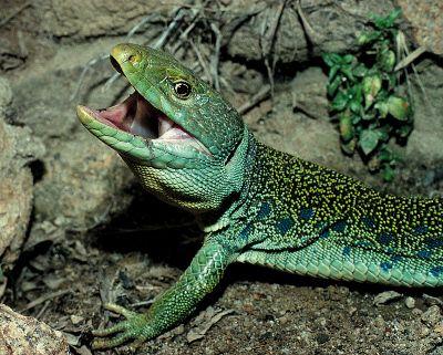 El lagarto ocelado, lagarto común  o Lacerta lepida es el más abundante de los lagartos ibéricos. Es también el mayor lagarto europeo; mide normalmente unos...
