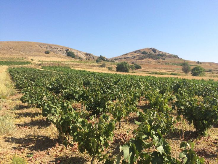 Our visit to Mr Manolis Garalis' vineyard on Sunday, July 24 at Limnos Island, Greece.