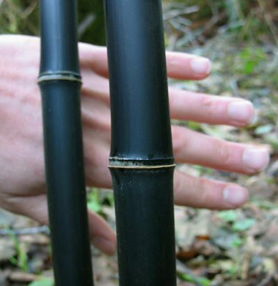 Black Bamboo is the oldest and most popular bamboo cultivated in the United States, first introduced in 1827. It has many unique characteristics. Individual culms go through a transformation in their first and second year providing bold, contrasting colors.   Small, light green leaves radiate from the culms with airy, feather-like arrangement.