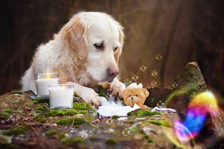 'Teddy Bear's Picnic' - Golden Retriever