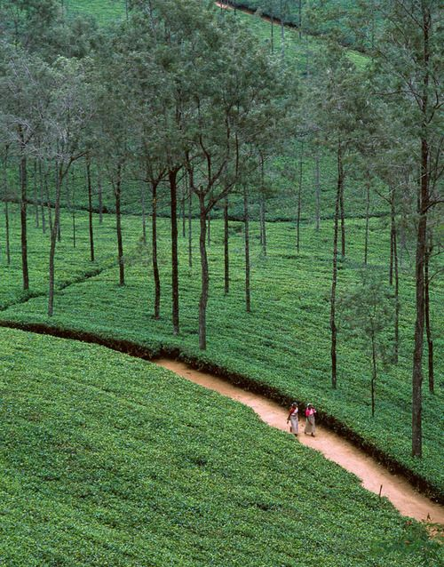 Tea fields - Sri Lanka - can feel the cool breeze looking at t!