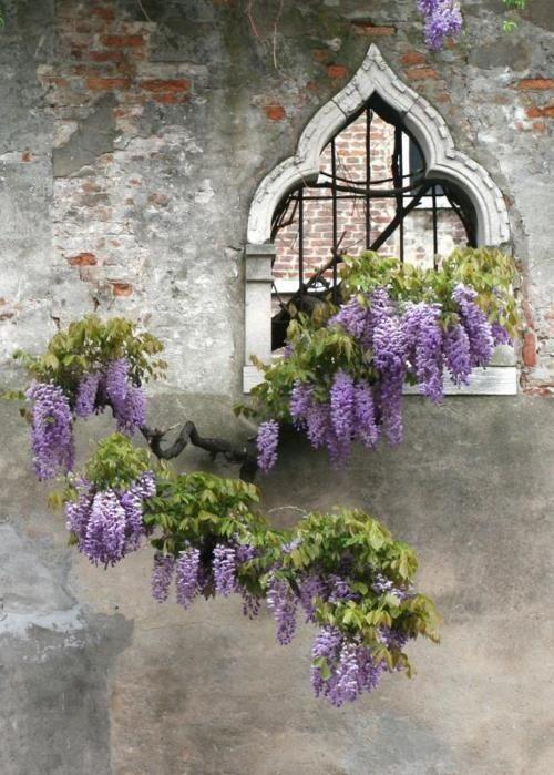 il glicine sta bene ovunque! #fiori alle #finestre