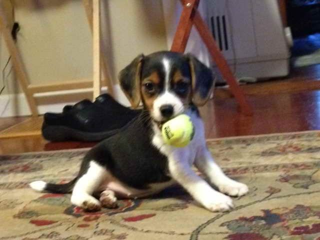 Beagle Rescue Rochester Ny Beagle Puppy Pocket Beagle Puppies Pocket Beagle