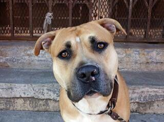 Brooklyn Center -P  My name is BENNY. My Animal ID # is A0995983. I am a male tan and white mastiff and pit bull mix. The shelter thinks I am about 3 YEARS old.  I came in the shelter as a STRAY on 04/07/2014 from NY 11208, owner surrender reason stated was STRAY.  MOST RECENT MEDICAL INFORMATION AND WEIGHT 04/15/2014 Exam Type RE-EXAM -Medical Rating is 3 C - MAJOR CONDITIONS , Behavior Rating is EXPERIENCE, Weight 65.2 LBS.  COUGHING ON EXAM. TREATING FOR KC. 300MG DOXY PO Q24 FOR 10 DAYS…