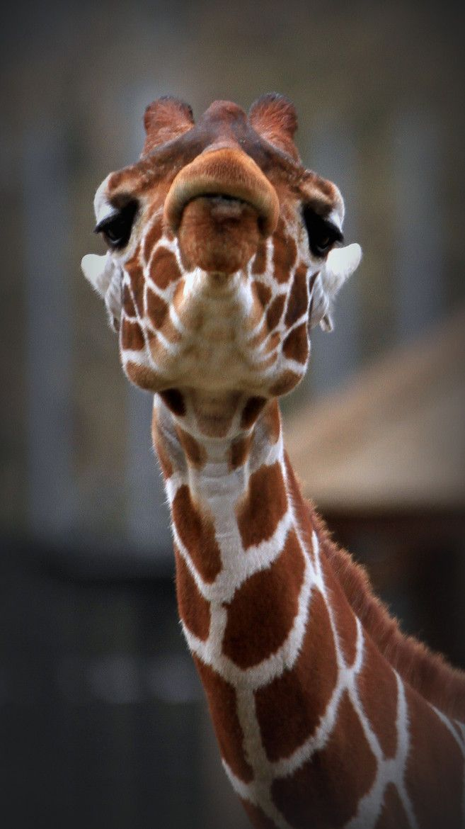 Giraffe - What a face!