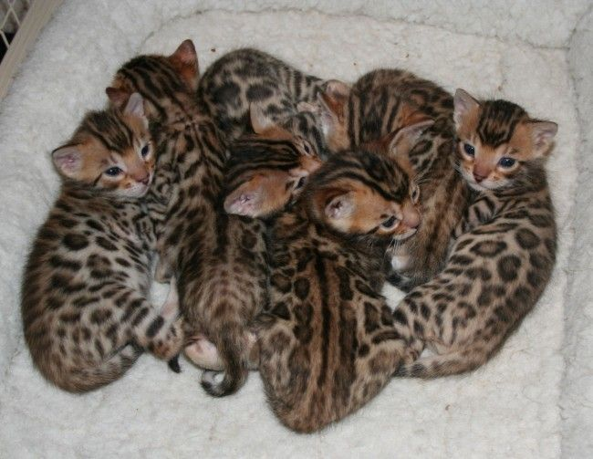 bengal cat | Bengal Cats Everywhere Need Your Help | Bagheera the Diabetic Cat
