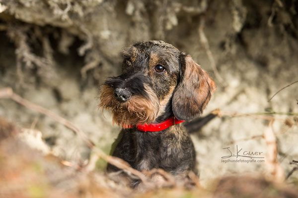 Pin Auf Dachshund Miniature Wire Haired Teckel And Others