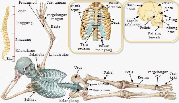 Gambar Tulang Gelang Panggul Dan Keterangannya Di 2020 Sumsum Tulang