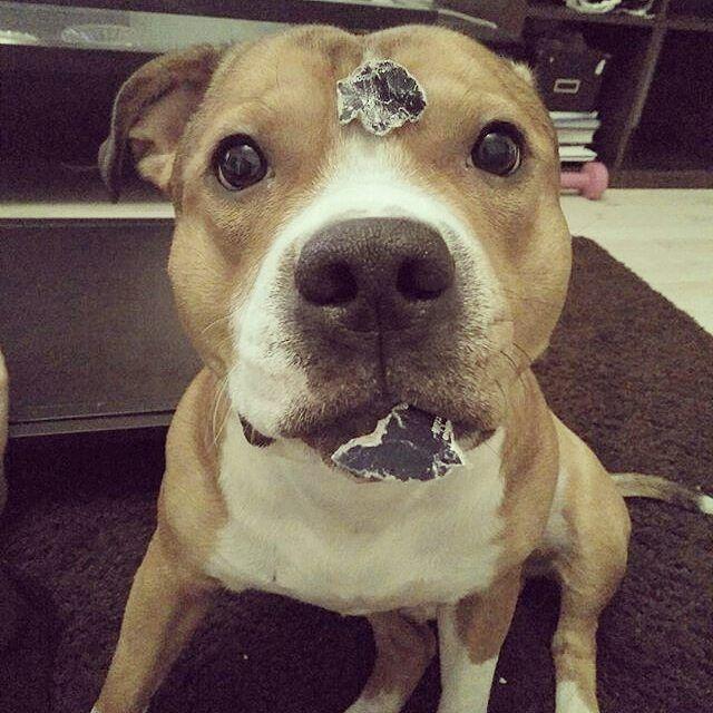 Come dici? La tua rivista? Nomi spiace non l'ho vista  #BauSocial #cane #dog #perro #inu #chien #cani #dogs #dogofinstagram #dogstagram #instadog #doglovers #pitbull #amstaff #guiltydog #wasntme #nose #lol #naughty #milano #italia #bau #woof #pokerface