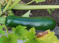 zucchini. trying one plant this year since they seem to take a lot of space and I don't want a whole lot of them.