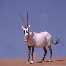 The Arabian oryx became extinct in the wild in 1972, mainly due to hunting. A few were taken into captivity and bred in zoos - this species was one of the earliest successes of captive breeding. Several hundred have since been returned to the desert in Saudi Arabia and Oman.