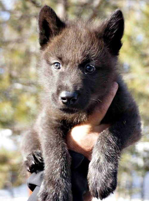 Colorado Wolf and Wildlife Center male British Columbian Tundra Wolf pup