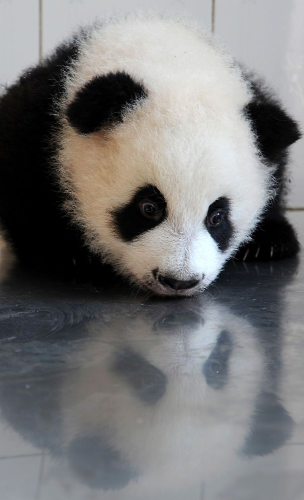60 Cutest Panda Moments Ever Captured | Bored Panda