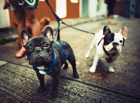 Französische Bulldogge im Rasseportrait