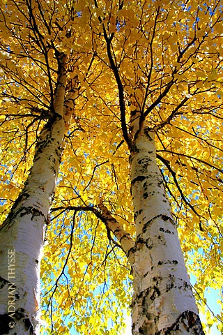 poplar trees in the Fall. We have a beautiful set of poplar candles. I love them!