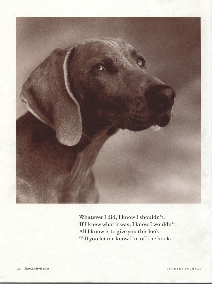 Weim: Smokey, Critters, Dogs, Animals Pets, Weims, Animal Friends, Irresistible