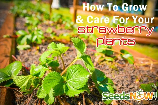 How To Grow & Care For Your Strawberry Plants