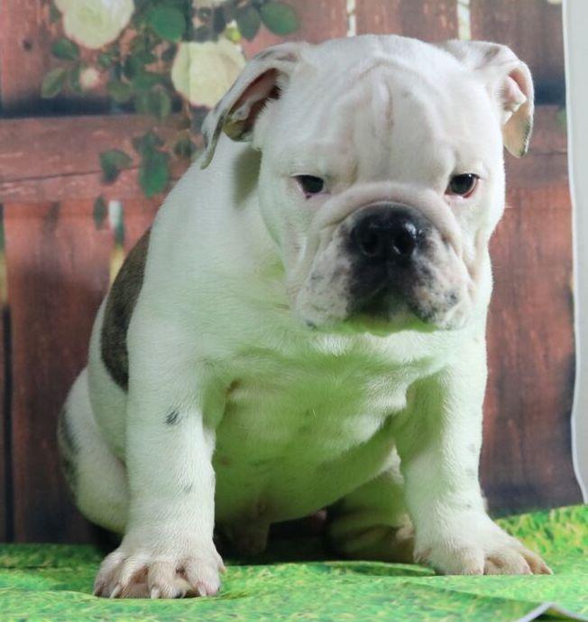 Bruno Is A Brindle Male English Bulldog Puppy American Born And
