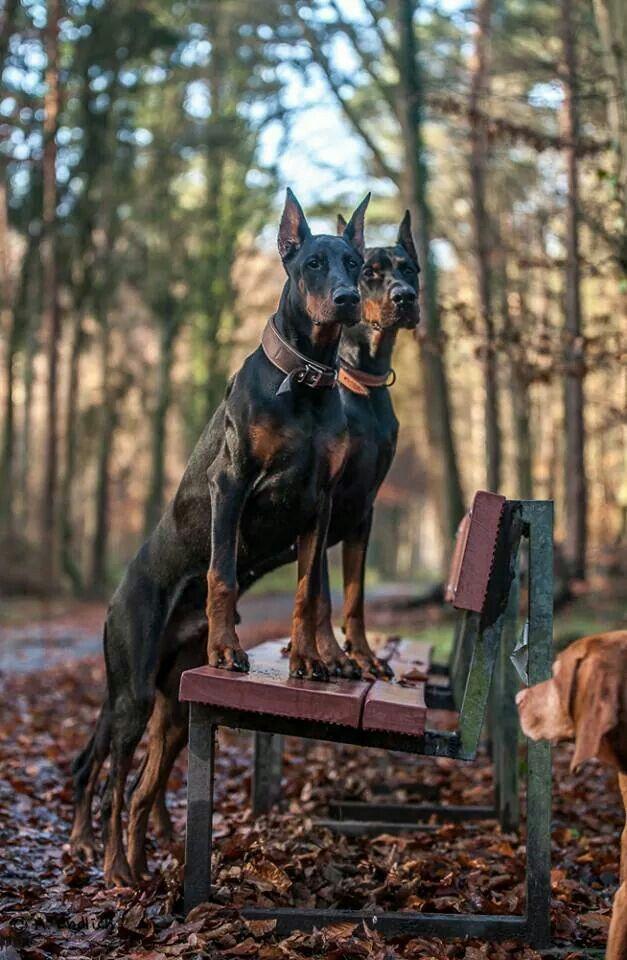 #Doberman #dogs
