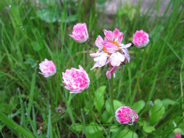 Маргаритка была среди первых полевых цветов, проложивших дорогу в сады. Уже в XVI веке существовали махровые сорта, не только белые, но и красные.