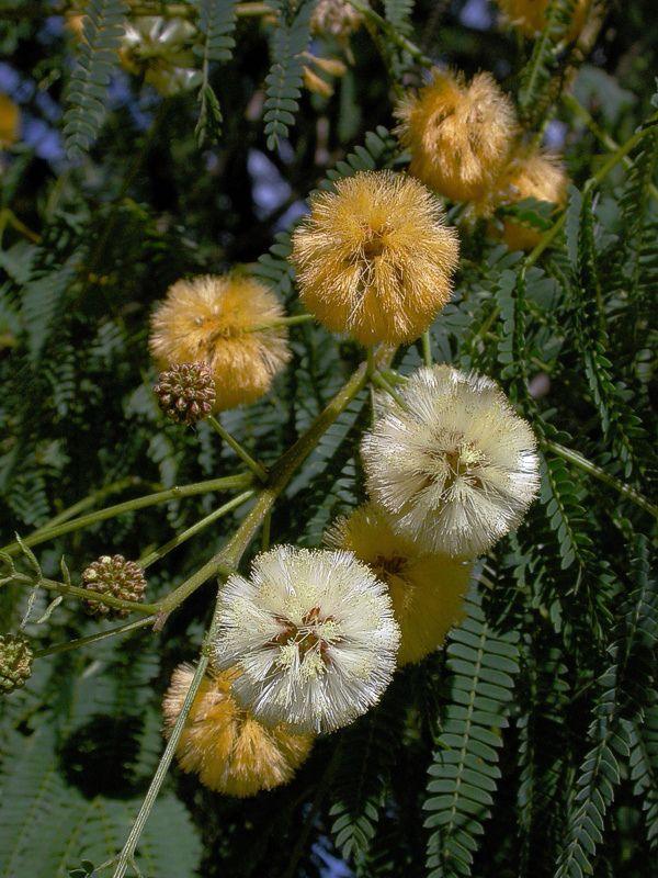 Acacia Puffs