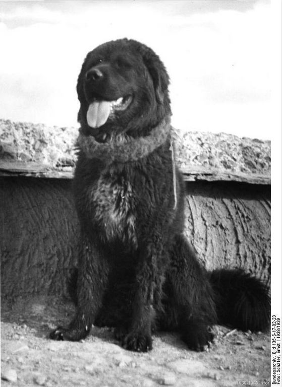 File:Bundesarchiv Bild 135-S-17-02-23, Tibetexpedition, Tibetischer Hund.jpg Title Tibetexpedition, Tibetischer Hund Original caption tibetischer Hund Archive description Haustier Depicted place Tibetexpedition Date 1938