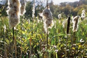 How to Control Cattail Pond Weeds Naturally and Organically thumbnail