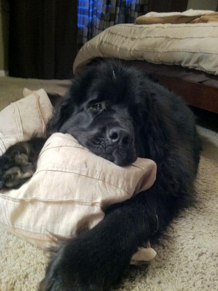 Newfoundland napping