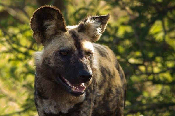 Wild dog... Kruger Park December 2014