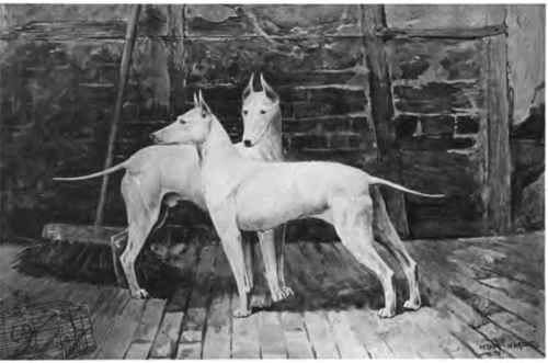 The English White Terrier.