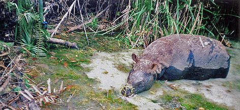 The Javan rhino is probably the rarest large mammal on the planet, with no more than 50 left in the wild and none in captivity.  Its small population size and likely isolation to one protected area in Indonesia make it extremely vulnerable to any threat.