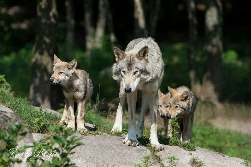 Red wolf and pups wolves pinterest wolves red wolves and red