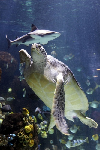 In honor of Shark Week, don't forget to stop by MN Sea Life Aquarium in MOA next time you're in town! Green Sea Turtle and Shark at Minnesota Sea Life Aquarium, Mall of America, Bloomington, MN #MNsealife #sharkweek