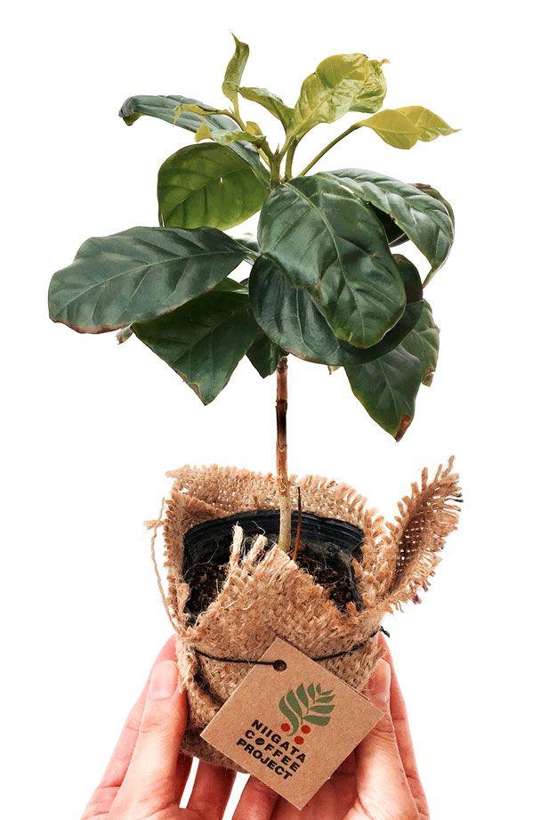 新潟市のにいがたコーヒープロジェクトです。 新潟県立植物園と新潟のバリスタがコラボしたこのプロジェクトはコーヒーノキを育てたり、コーヒーの木を販売したり、 コーヒーの淹れ方の動画を見て研究したり、いろんなコーヒーの淹れ方の種類を体験します。 新潟県立植物園のコーヒースタンドではバリスタがコーヒーの入れ方をお客様へアドバイスして差し上げてます。 ハンドドリップコーヒーのコツはハンドドリップコーヒー ポットの選び方も大切です。バリスタが使うコーヒーポットは細口のコーヒーポットです。 でも淹れる前には、コーヒー豆の選び方、コーヒーミルを使っての挽き方大切なポイント。コーヒーショップでは美味しいコーヒー入れ方のコツとしてアドバイスを行います。