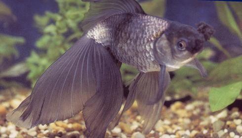 Types of Goldfish Species from Desktop Goldfish