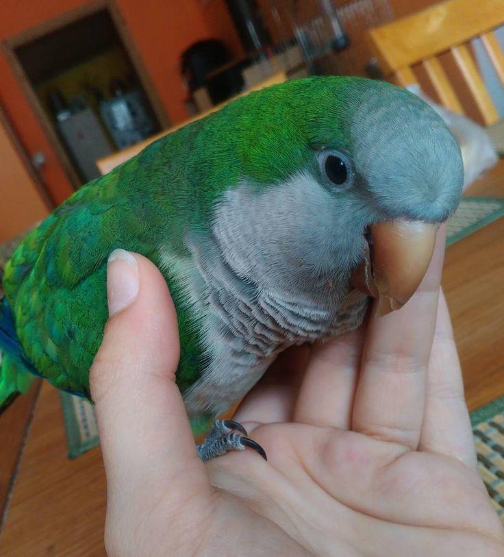 Mazleníčko mazlení/ Caress caress #parrot#parrotonhand#mniseksedy#happyparrot#like4like#followme by parrotciko http://www.australiaunwrapped.com/