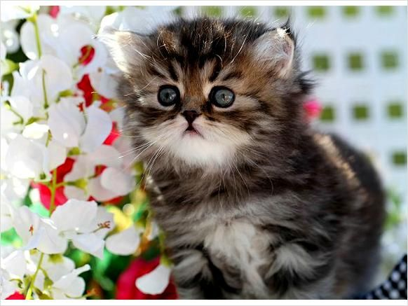 Teacup Persian Cats | Shaded Golden Teacup Persian Kitten - Dallas, Texas