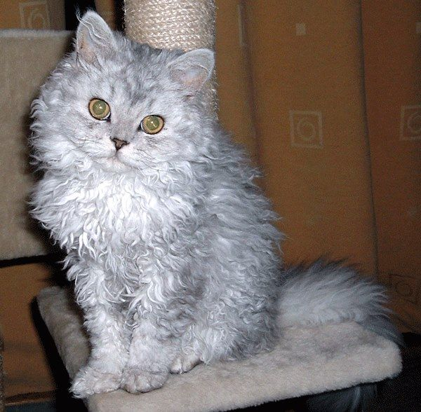 cats curly haired