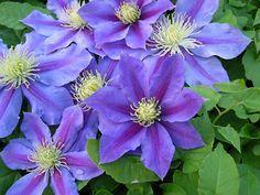 clemátide - detalle flores