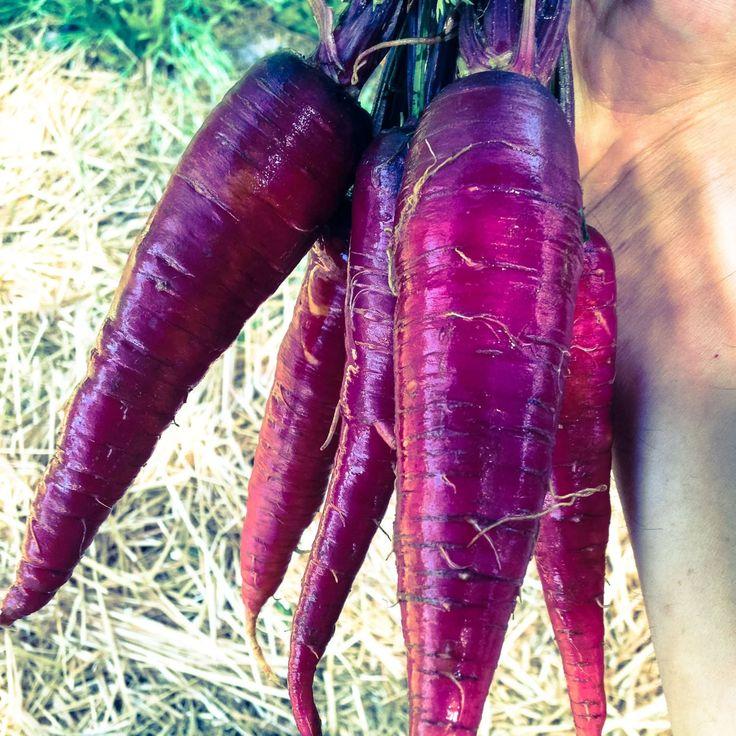 Heirloom Purple Dragon Carrot