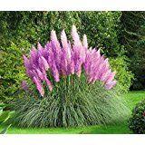 BALDUR-Garten Tree-Lily Pretty Woman 3 Stück Baumlilien Lilium: Amazon.de: Garten