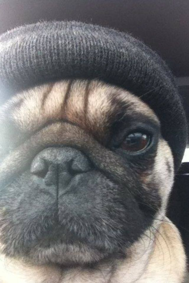 """I didn't choose the pug life. The pug life chose me"" #Pug"