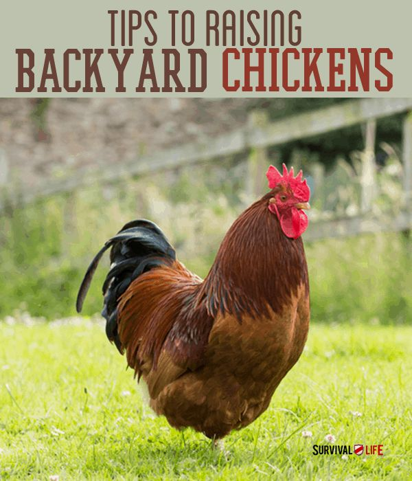 how to raise backyard chickens top 5 reasons to raise