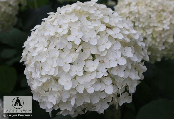 Hydrangea arborescens 'Anabelle' - Hortensja drzewiasta 'Anabelle' - Szkółki Kurowscy