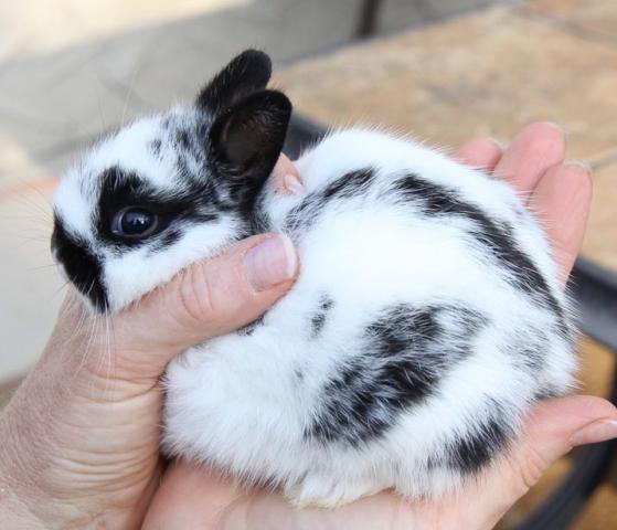 The Polish Rabbit Breed http://rabbithutchzone.com/ #polish #rabbit #breed
