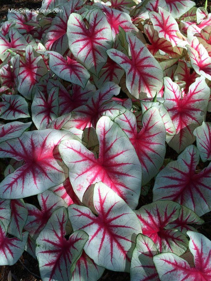 Caladium 'Fiesta' from Bates Sons & Daughters new caladium plant varieties