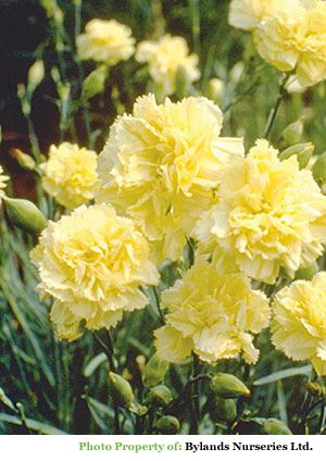 Hardy Double Yellow Carnation - Dianthus caryophyllus 'Grenadin Yellow' | Bylands Nurseries Ltd.