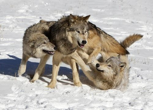 Best 101.0+ Timber wolves images on Pinterest | Gray wolf ...
