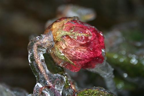 Why Doesn't Freezing Rain Turn Into Snow?: Glaze Ice on a Rose
